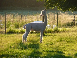 Our neighbours were Goats, Alpaca and rare breeds of chicken.