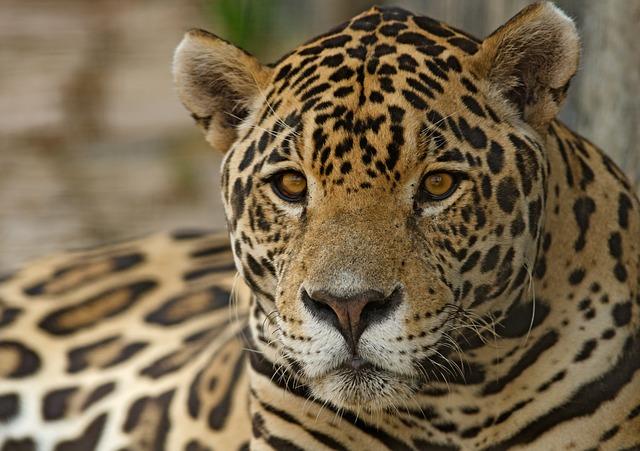 jaguar-2796527_640