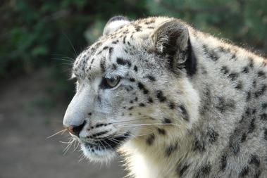 leopard-253688_640