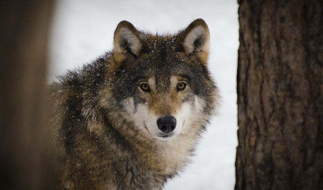 wolf-2106894_640