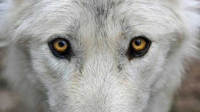 wolf-2782584_640