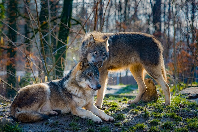 wolves-2178126_640