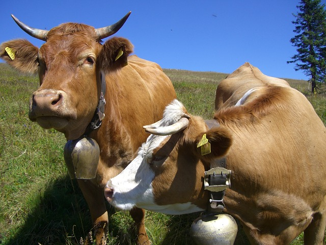 cow-245691_640
