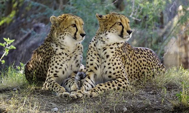 cheetah-2268955_640