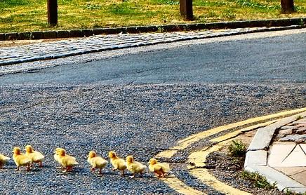 ducks-2683033_640