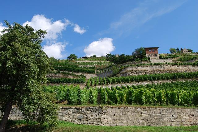 vineyard-916840_640