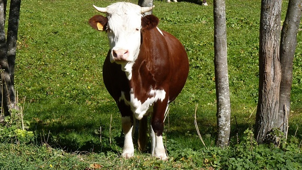Queen_of_Cows