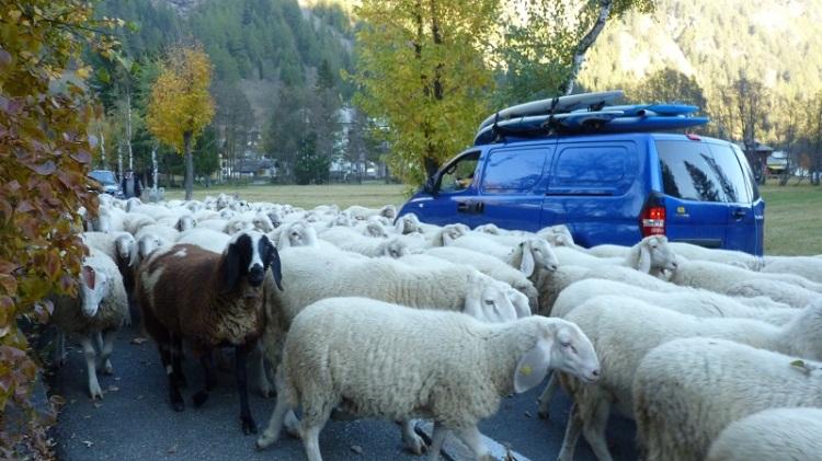 Sheep_Gressoney.JPG