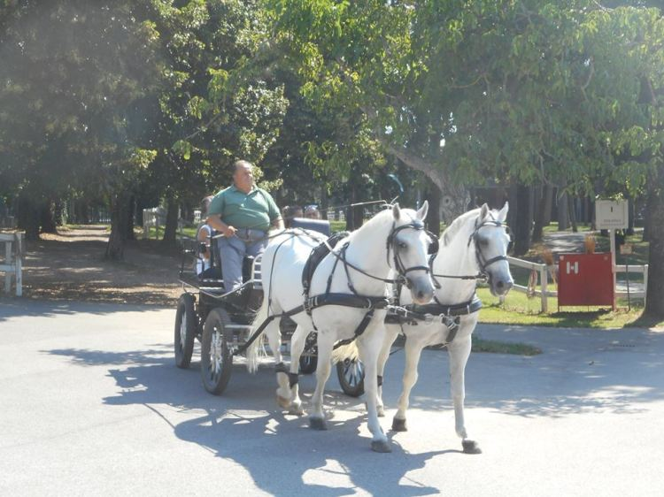 lipizzan_carriage_horses