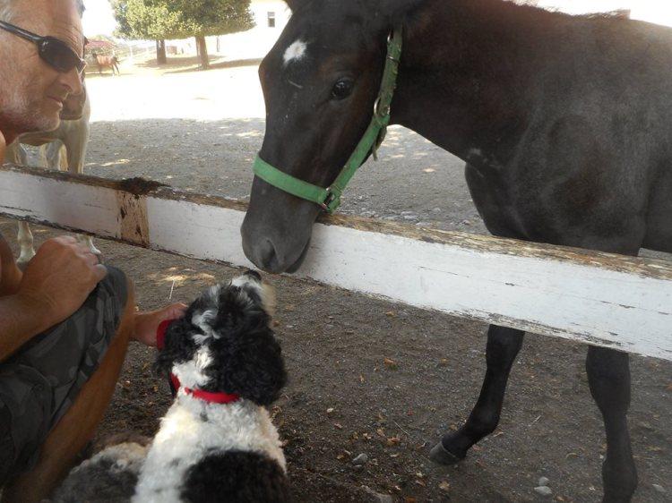 lipizzan_foal_with_rosie