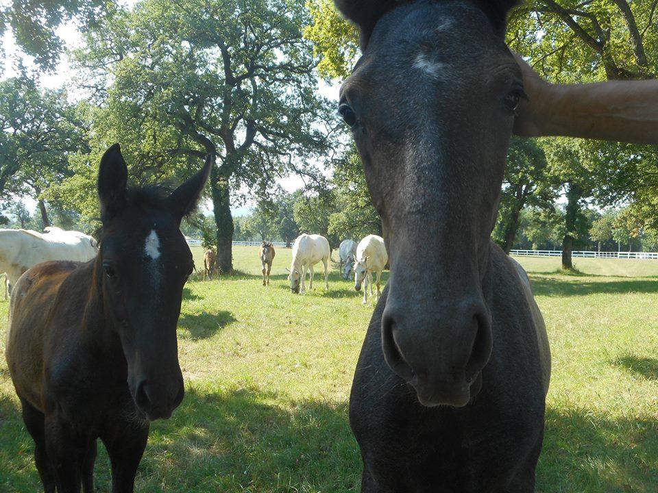 lipizzaner_foals