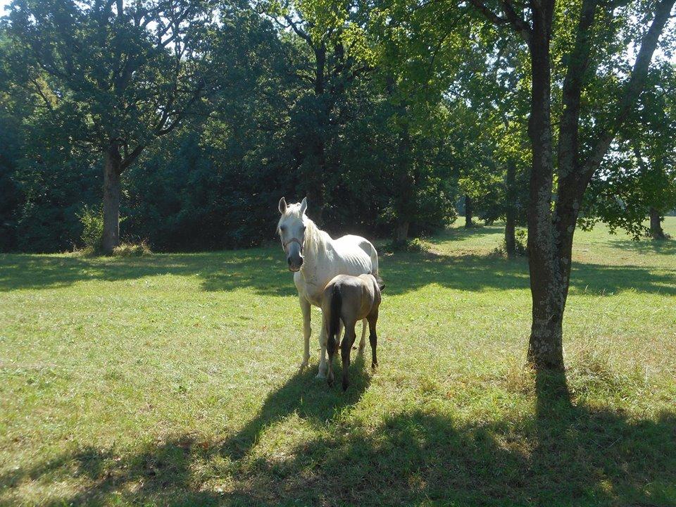 lippizan_mare_&_foal
