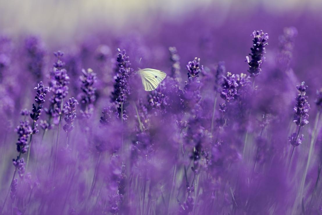 lavender-4186957_1280