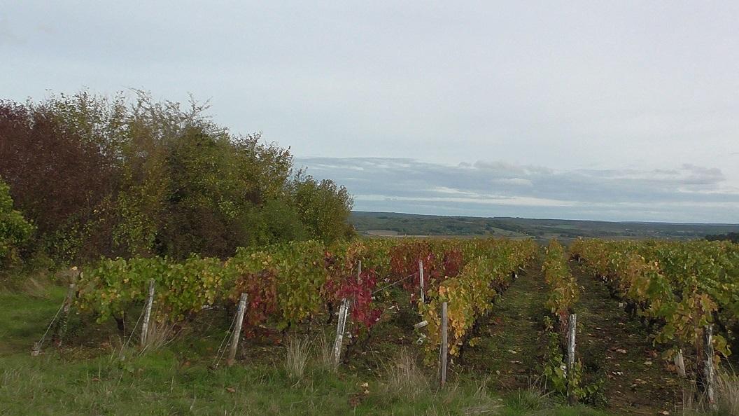 Bourgogne_vineyard