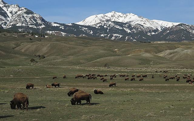 bison-889114_640