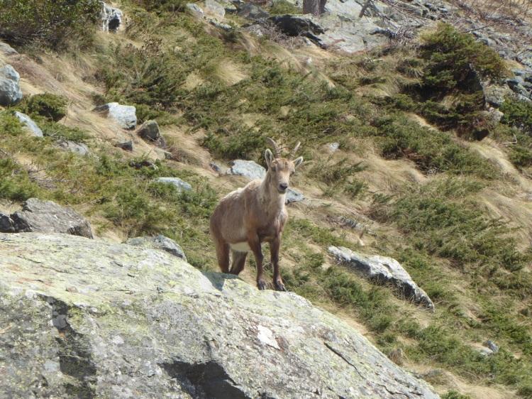 Alpine_ibex (3)