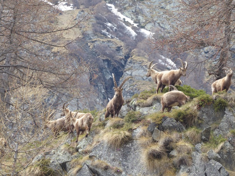 Alpine_ibex_monarch