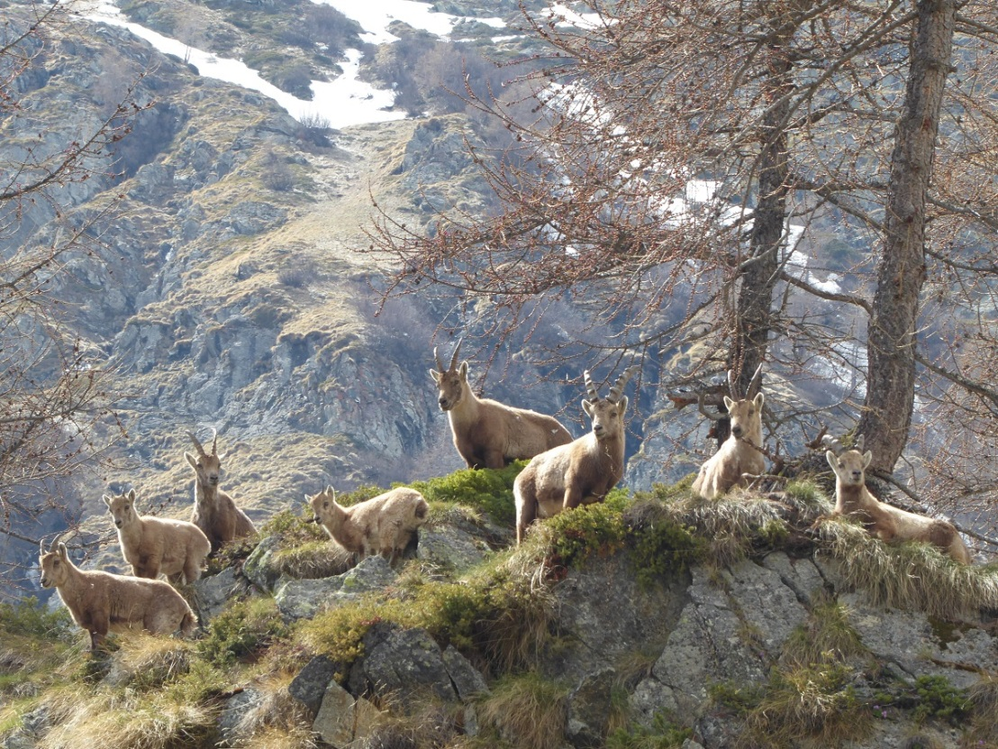 Alpine_ibex_money Shot