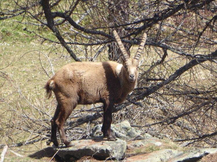Alpine_ibex_on_rock