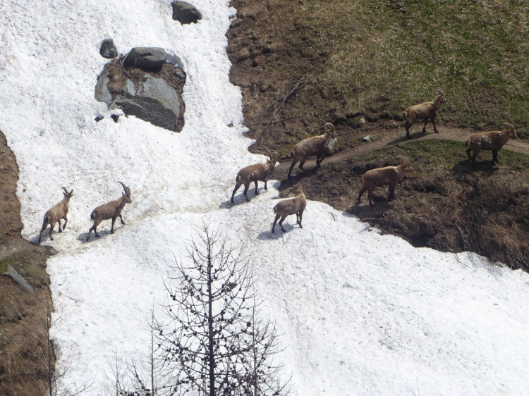 Alpine_ibex_snowfield