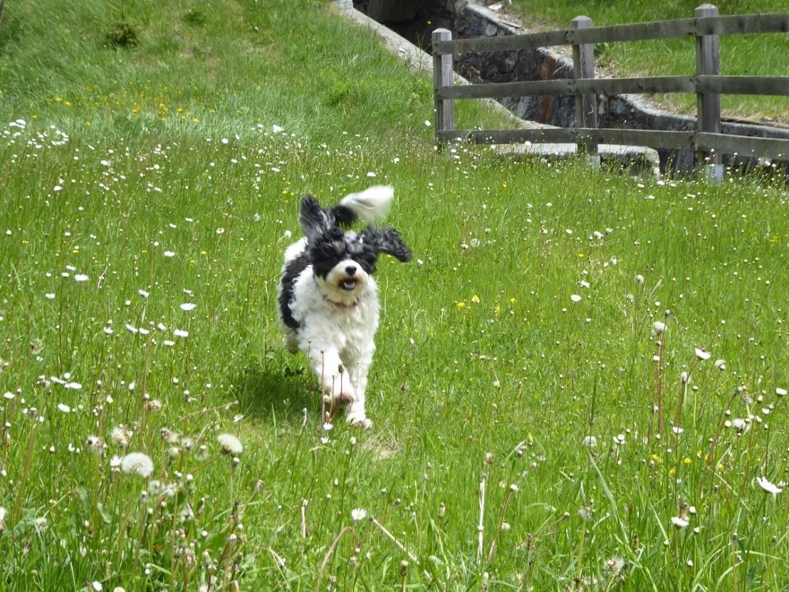 Dog_running_meadow