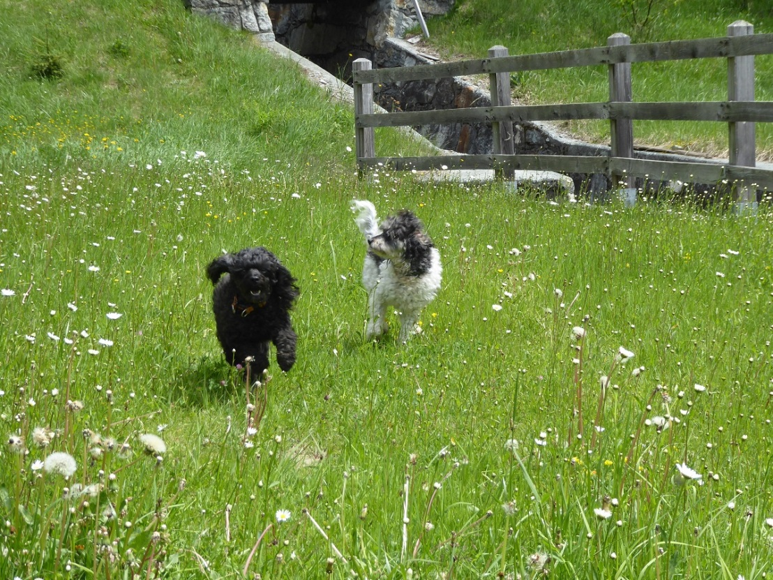 Dogs_running_meadow