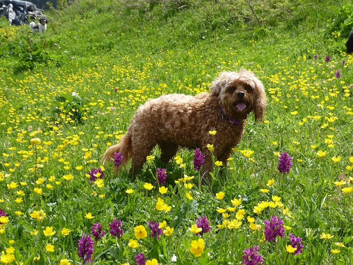 red_dog_alpine_meadow