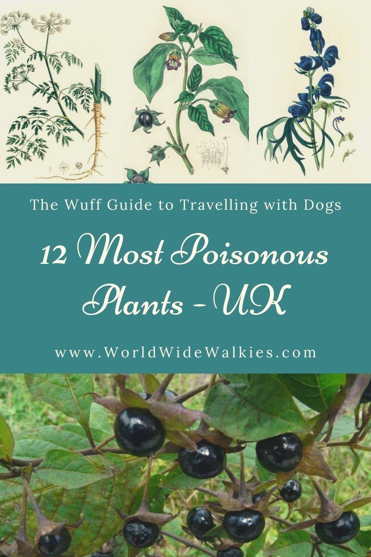 12 Most Poisonous Plants UK Pin