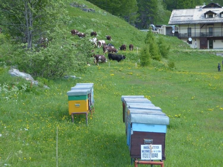 bee_hives_cows_behind
