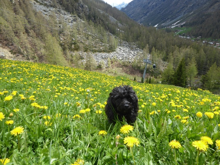 black_dog_yellow_flowers
