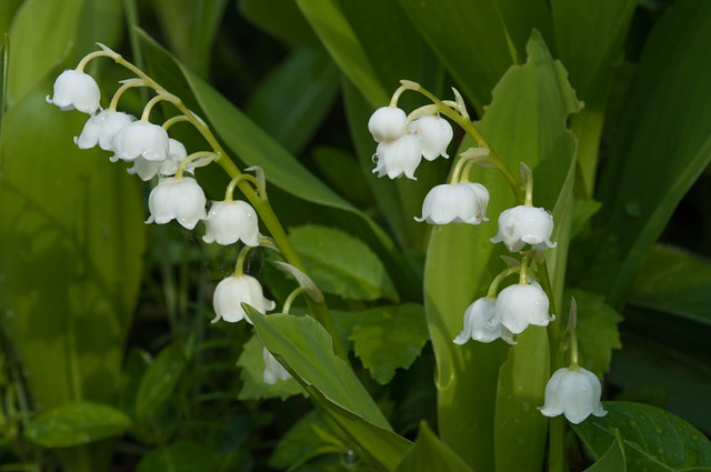 lily_of_the_valley