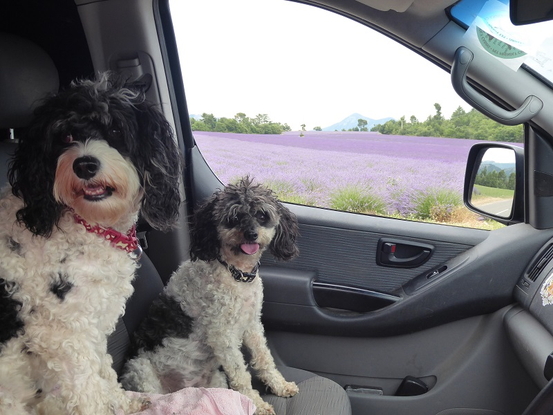 dogs_in_car_lavender_background (2)