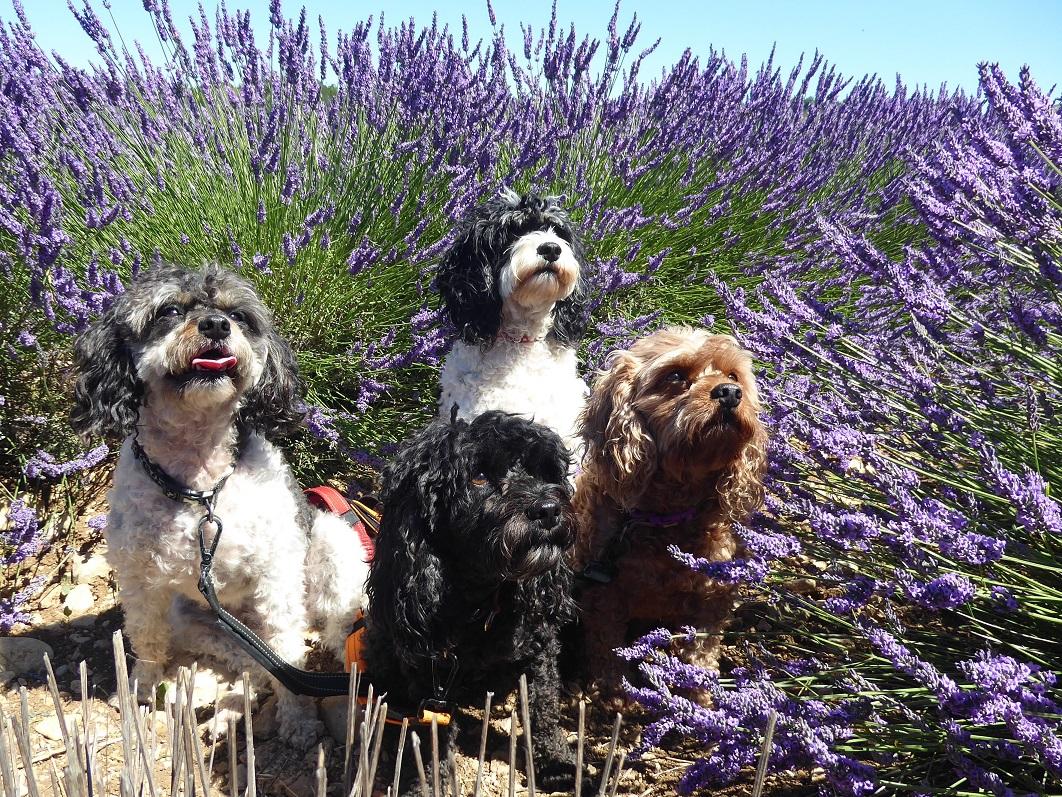 dogs_in_lavender
