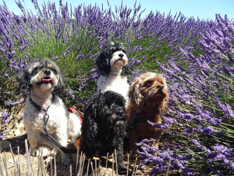 dogs_in_lavender