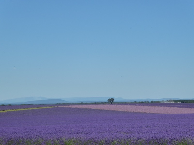 lavender_fields_mountains-Provence