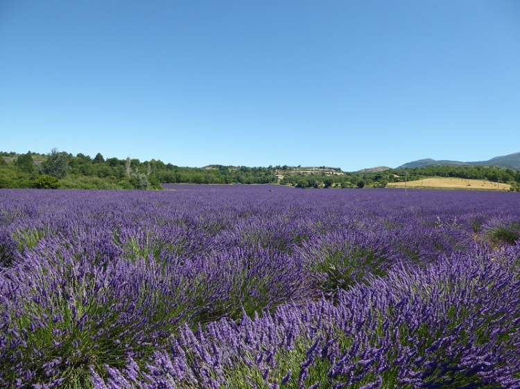 lavender_fields_Provence (3)