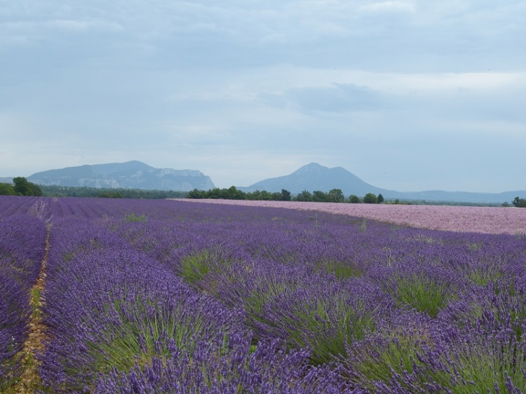 lavender_provence_mountains
