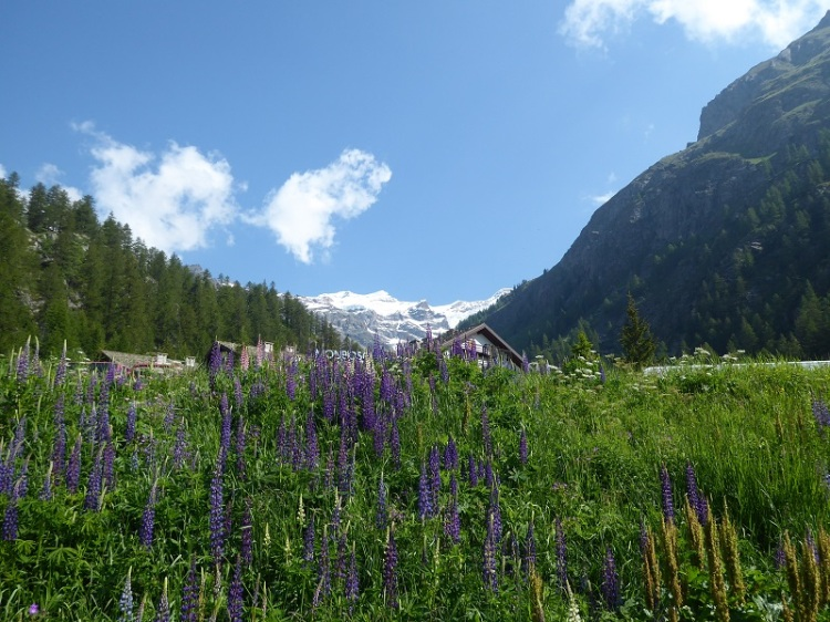 Snowy_mountain_lupins