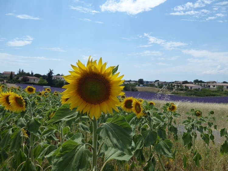 sunflower_Provence