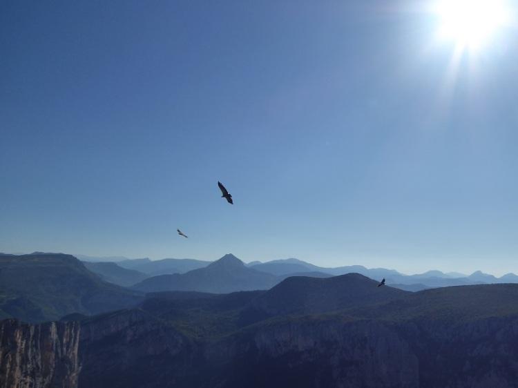 Vulture_soaring_in_sun