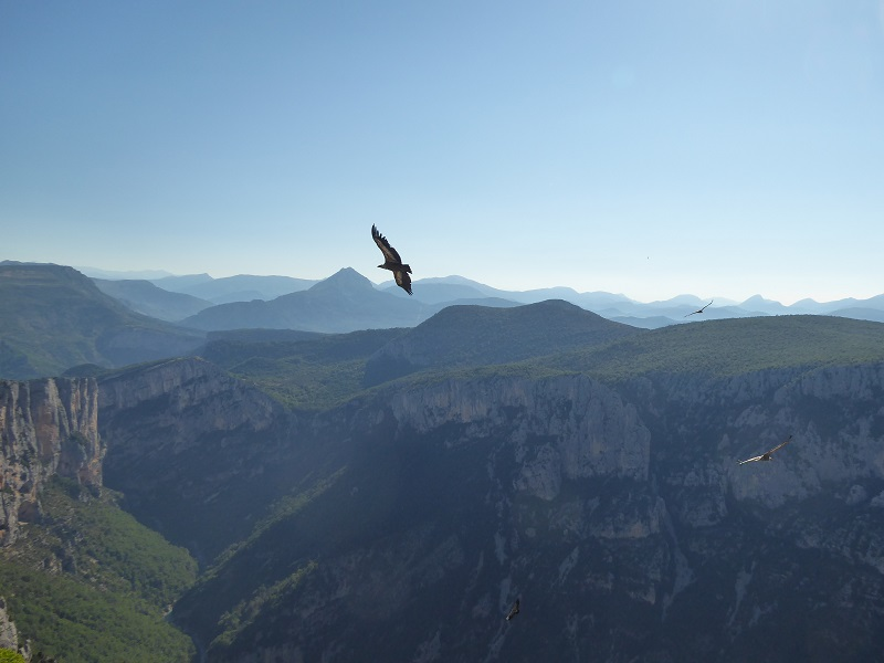 Vulture_soaring_Mountains