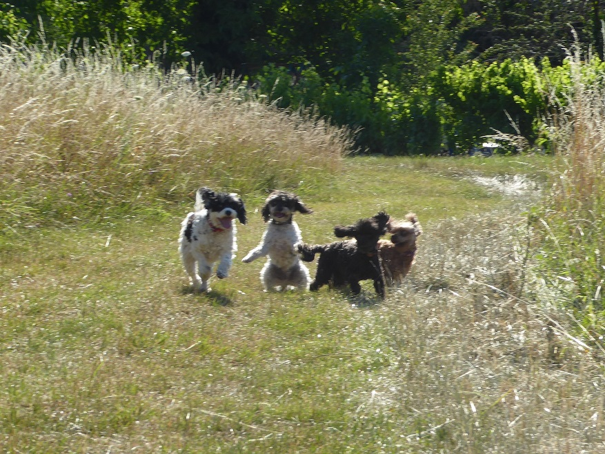 Pups_Play_vineyard_Eguisheim